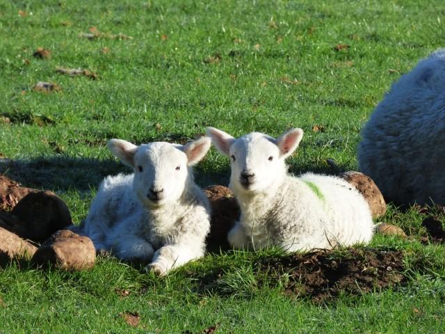_3-lambs